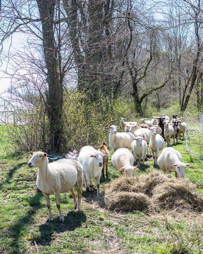 Naturally Raised Lambs at Footprints Farm