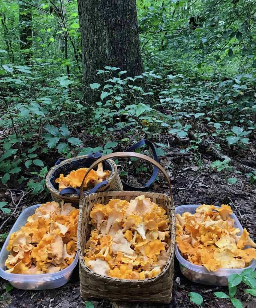 Chanterelle Mushrooms 2017