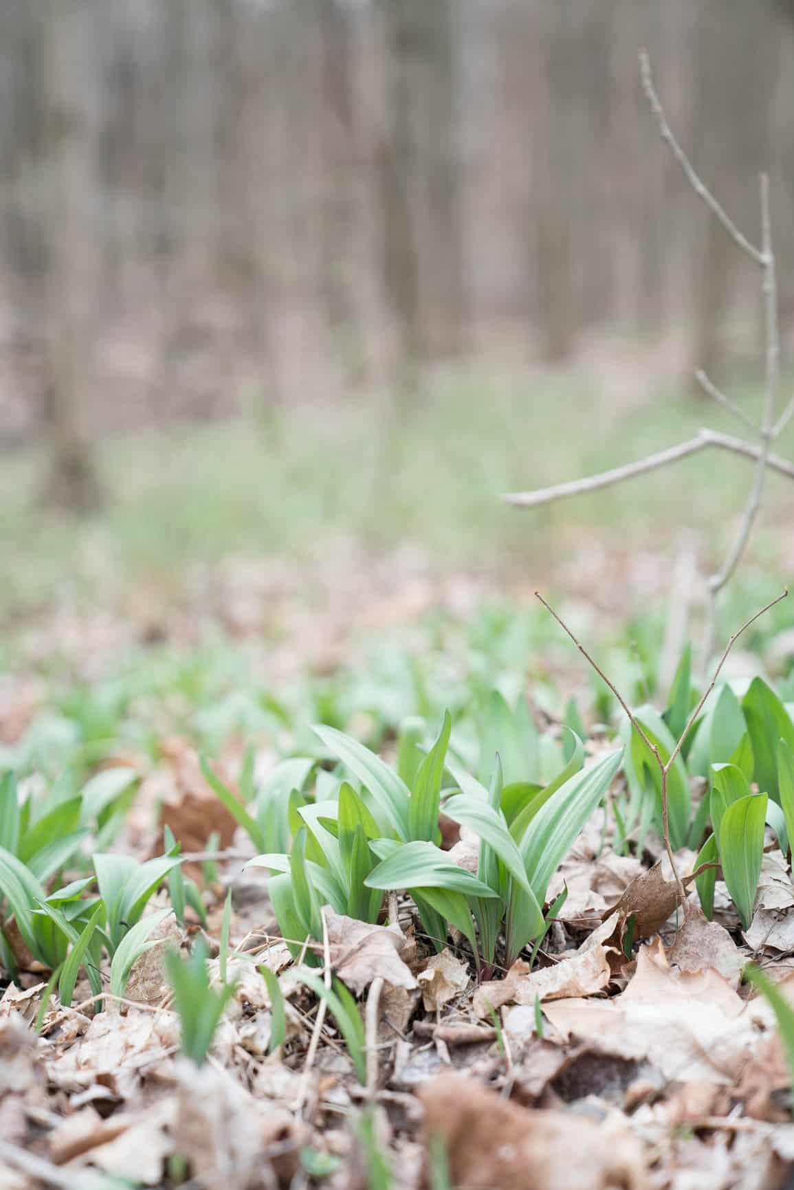Wild Ramps growing in the woods